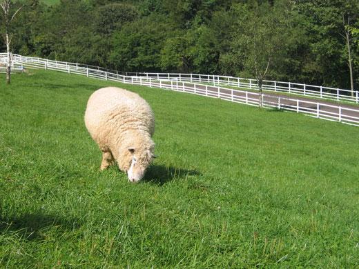 まきば公園の山羊