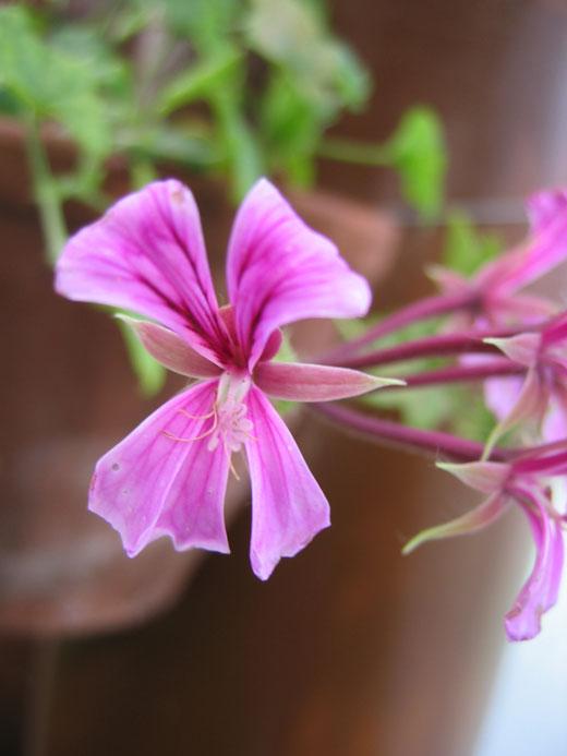 八ヶ岳薬用植物園のコモンマロウ