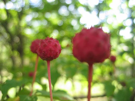 八ヶ岳薬用植物園のヤマボウシ