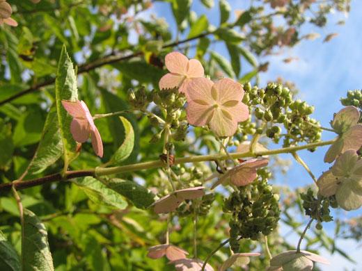 八ヶ岳薬用植物園の秋紫陽花