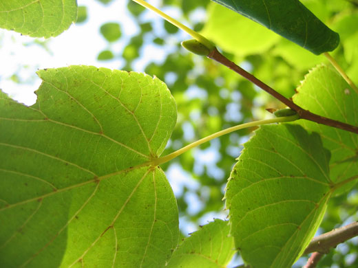 八ヶ岳薬用植物園のシナノキ