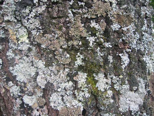 有井館の樹齢60年の桐の木