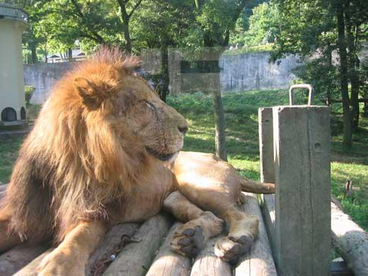 多摩動物公園-ライオン